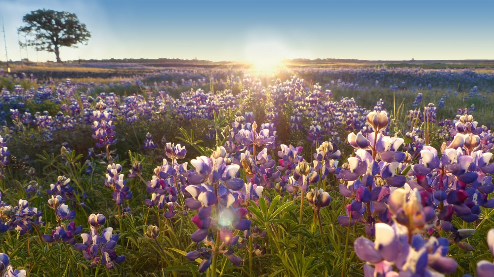 Lupine on Table Mountain